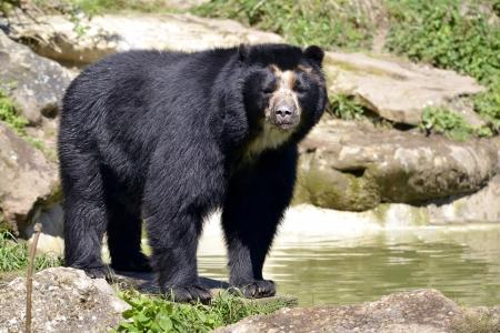 oso negro: Oso andino Tremarctos ornatus de pie cerca de la charca, tambi�n conocido como el oso de anteojos