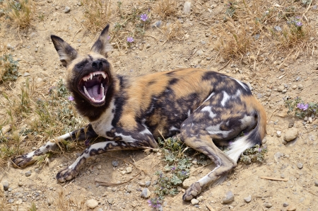 lycaon pictus: African Wild Dog  Lycaon pictus  lying on the ground showing its teeth Stock Photo