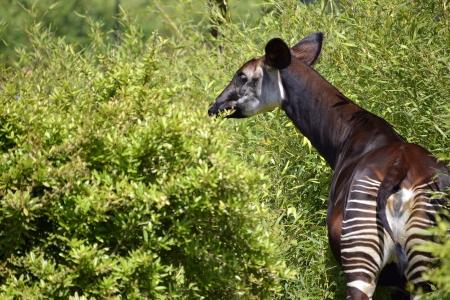 viewed from behind: Okapi  Okapia johnstoni  viewed from behind among vegetation