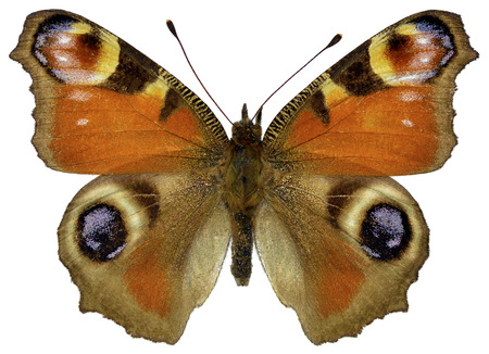 European Peacock butterfly  Inachis io  isolated on white background photo