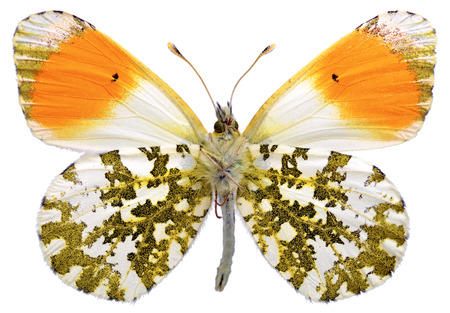 Macro of male orange tip butterfly  Anthocharis cardamines  seen from below and isolated on white background photo