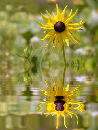 Closeup of single yellow coneflower Rudbeckia seen of front above water with big reflection, digital effect photo