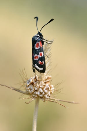 zygaena: Zygaena carniolica butterfly on grass Stock Photo