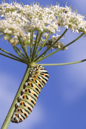 Macro of caterpillar of swallowtail Papilio machaon on umbellifer flower, its food plant,on blue sky  photo