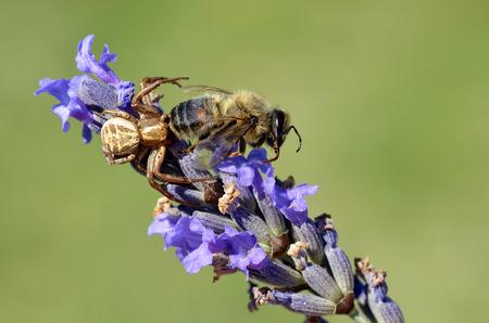 vatia: Macro di ragno granchio Misumena vatia mangia un ape su fiori di lavanda su sfondo verde