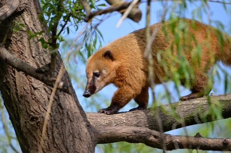 South American Coati, or Ring-tailed Coati Nasua nasua, in tree photo