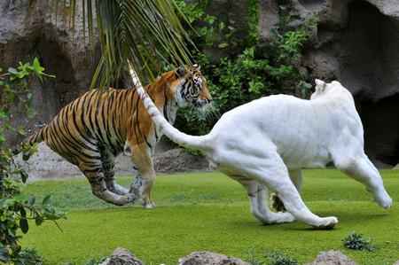 panthera tigris: Tiger y raro tigre blanco Panthera tigris jugando en el c�sped Foto de archivo