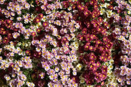 daisie: Ciuffo di crisantemi rossi e rosa