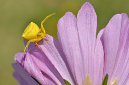 yellow crab spider Misumena vatia on pink petal cosmos flower photo