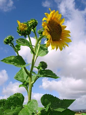 helianthus annuus: Sunflower Helianthus annuus and buds Stock Photo