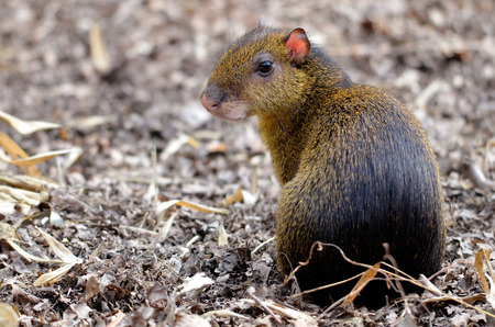 agouti: Closeup of central American Agouti Dasyprocta punctata back view sitting on ground Stock Photo
