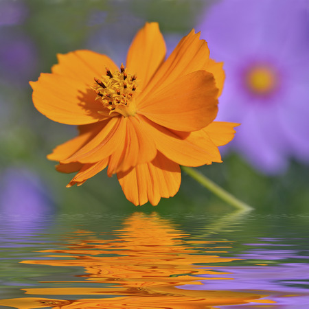 Closeup of orange cosmos flower above the water with reflection, digital effect photo