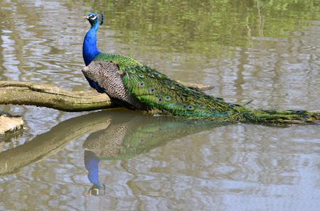 pavo cristatus: Male Indian Peafowl Pavo cristatus seen of profile with the tail in the water