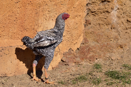caruncle: Grey fighting cock  Gallus  near a wall Stock Photo