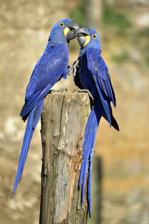Two Hyacinth macaws Anodorhynchus hyacinthinus on a perch and kissing photo