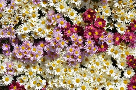 daisie: Ciuffo di crisantemi bianchi e rossi Archivio Fotografico