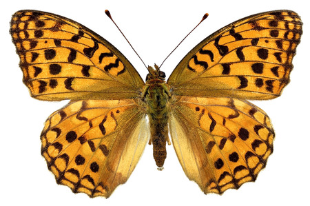 High Brown Fritillary butterfly  Fabriciana adippe  isolated on white background photo