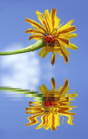 coccinella: Ladybug  Coccinella  on yellow flower on blue sky background, above water with big reflection, digital effect