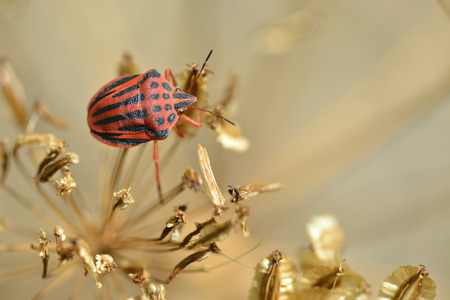 graphosoma: Red striped Graphosoma semipunctatum on plant