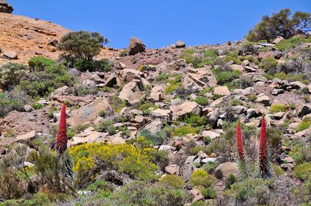 echium: Rocky mount with blooming yellow shrub and three red tower of jewels symbolic flowers  Echium wildpretii , at Tenerife in the Spanish Canary Islands Stock Photo