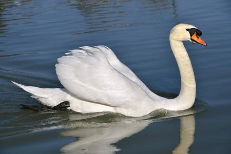 cygnus olor: Closeup mute swan  Cygnus olor  swimming on water