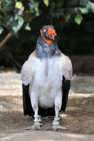 caruncle: King vulture  Sarcoramphus papa  on the ground and front view