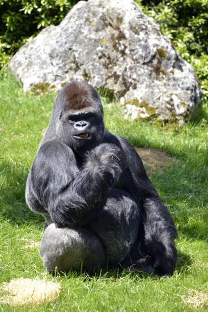 gorila: Hombre gorila de tierras bajas occidentales Gorila gorila sentado en la hierba Foto de archivo