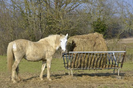 pays: Beige horse  Equus caballus  standing and seen from of profile, beside the straw manger, Mayenne department, Pays de la Loire region in France