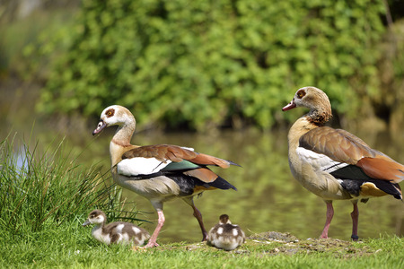 alopochen: Couple of Egyptian Geese  Alopochen aegyptiacus  on grass with two chicks