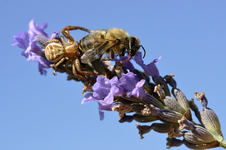 flower crab spider: Macro of  crab spider  Misumena vatia  eating a bee on lavender flower on blue sky