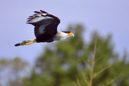 falconidae: Southern Crested Caracara  Polyborus plancus  in flight viewed of profile
