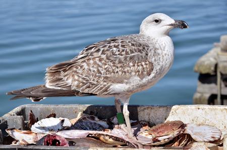 waterbird: Closeup herring gull  Larus argentatus  in the fishing box with scallops Stock Photo