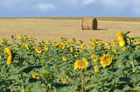 helianthus annuus: Sunflower  Helianthus annuus  field and bundle of straw in France in the department of Tarn