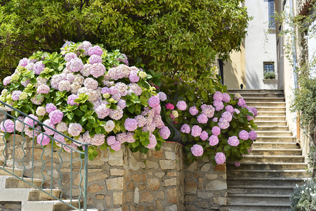 azur: Pink hydrangeas in the village of Grimaud, commune in the Var department in the Provence-Alpes-Cote Azur region in southeastern France Stock Photo
