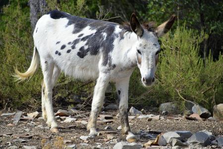 donkey tail: Burro blanco y negro Equus africanus asinus Foto de archivo