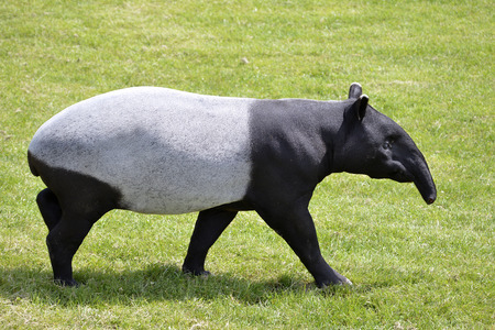Malayan tapir  Tapirus indicus  walking on grass and viewed of profile