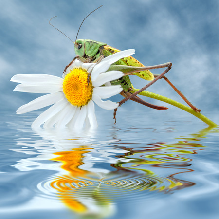 Closeup of grasshopper on daisy flower, seen of profile, above water on cloudy blue sky background, digital effect photo