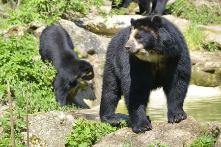 Two Andean bear  Tremarctos ornatus  standing near pond, also known as the spectacled bear