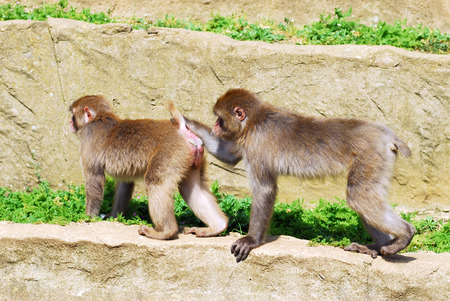 comic duo: Two Japanese Macaques or snow monkeys  Macaca fuscata  on rock in a sexual attitude comic