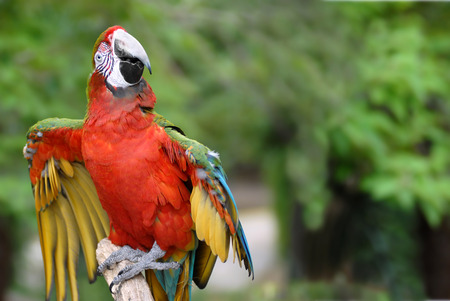 outspread: Closeup of red-and-green Macaw (Ara chloropterus) on perch outspread wings