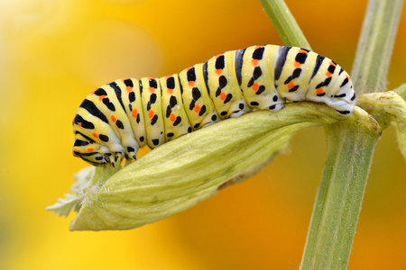 machaon: Macro of caterpillar of swallowtail (Papilio machaon) on leaf of umbellifer, viewed of profile, on yellow orange background