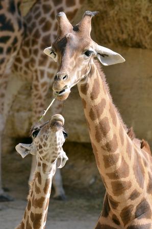 animal head giraffe: Giraffe (Giraffa camelopardalis) with a grass in mouth with its baby