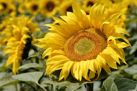 helianthus annuus: Closeup sunflower (Helianthus annuus)