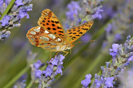 dowry: Macro of Queen of Spain Fritillari butterfly (Pararge aegeria) on lavender flower Stock Photo