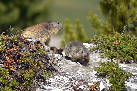 Alpine marmot and Its young (Marmota marmota) in plants in the French Alps, Savoie department at La Plagne