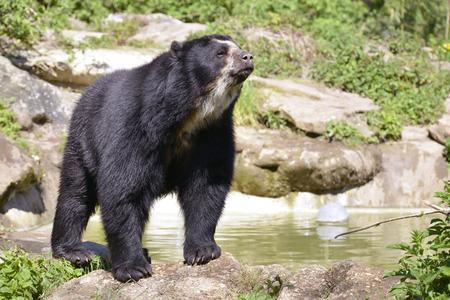 Ours andin (Tremarctos ornatus) debout près de l'étang, aussi connu comme l'ours à lunettes Banque d'images - 37473654