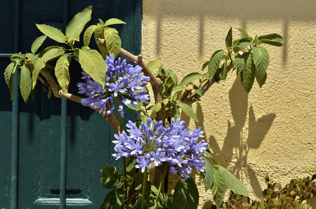 faade: Blue Agapanthus flower on the fa?ade of house in France, Languedoc-Roussillon region Stock Photo