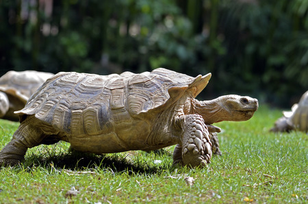 spurred: Closeup of male African Spurred Tortoise (Geochelone sulcata) seen of profile and walking on grass