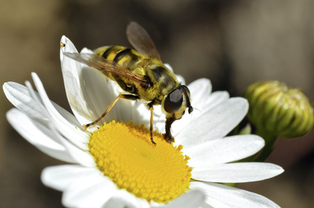 syrphidae: Macro of black and yellow fly feeding on daisy flower Stock Photo