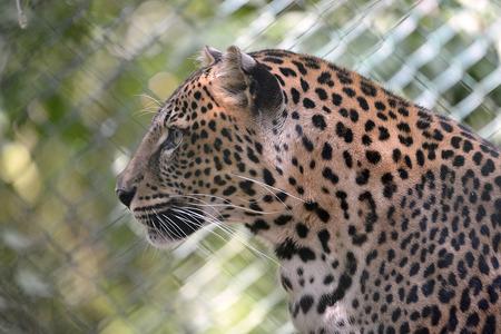 pardus: Portrait of leopard Panthera pardus seen from profile
